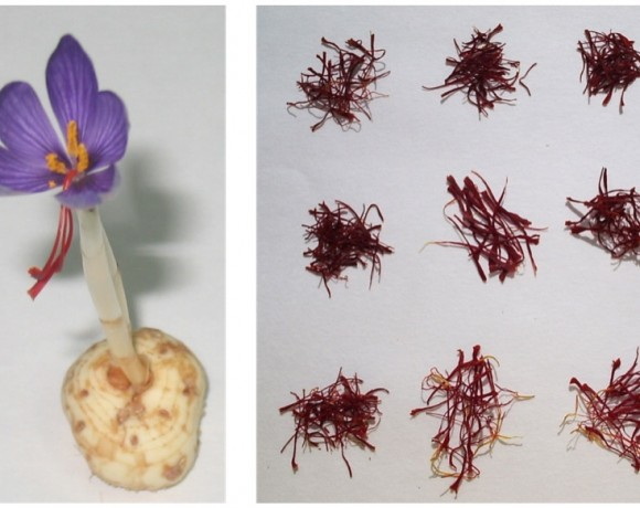 Unravelling apocarotenoid formation, modification, accumulation and regulation in saffron (Crocus sativus) and its allies by omics approaches. BIO2013-44239-R
