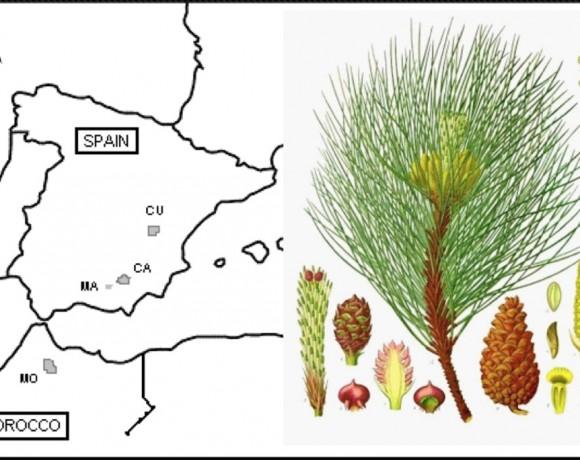 Factores fundamentales que influyen en la adaptación al cambio climático de las poblaciones de Pinus nigra (POII10-0112-7316)