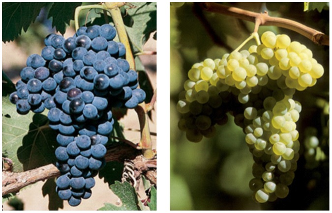 Caracterización de glucosidasas implicadas en el aroma de dos variedades autóctonas de Castilla-La Mancha: Airén y Tempranillo (JCCM. PPII10-0062-7718)