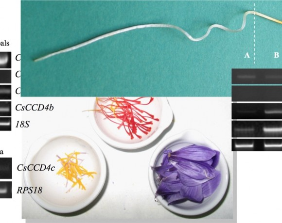 Characterization of a dioxygenase family involved in the formation of the organoleptic properties of saffron (Crocus sativus) (PAI08-0211-6481)