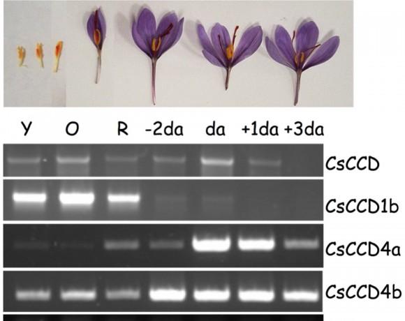 Dioxigenasas Implicadas en la Biosíntesis de Crocina y Crocetina: los Apocarotenoides de la Especia del Azafrán (Crocus sativus) (BIO2003-05259)