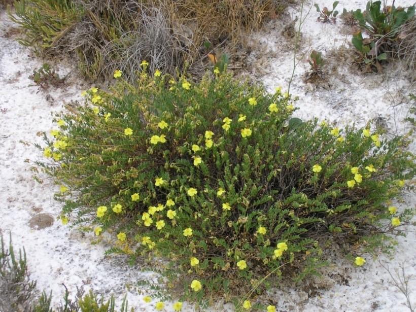 Evaluación del estado de conservación de las poblaciones de Helianthemum polygonoides dentro de su área crítica de distribución en la provincia de Albacete;  Consejería de Industria, Energía y Medio Ambiente de la JCCM