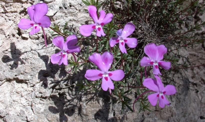 Prospección, censo poblacional y evaluación del estado de conservación de la especie vegetal protegida Viola cazorlensis Gand. en la provincia de Albacete