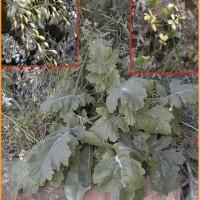 Censo poblacional y evaluación del estado de conservación de la especie vegetal en peligro de extinción Coincya rupestris Porta et Rigo subsp. rupestris