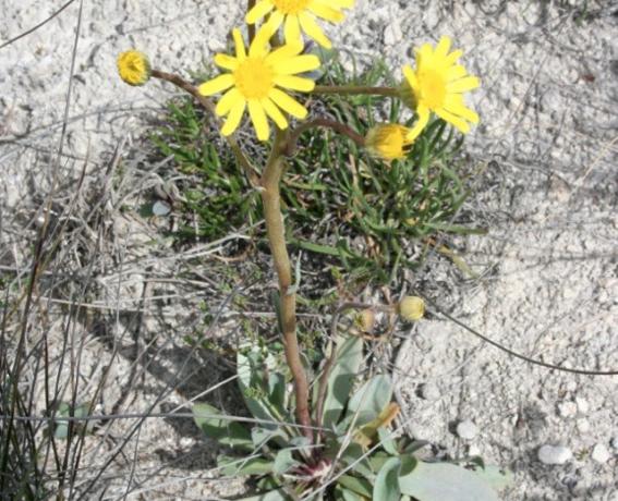 Patrones espacio-temporales de los bancos de semillas y ciclos regenerativos de la vegetación en estepas salinas mediterráneas