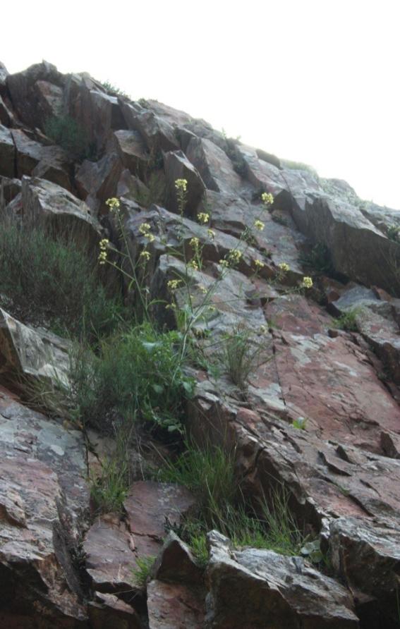 Puesta a punto de una metodología para la restitución de poblaciones de las especies vegetales amenazadas en Castilla-La Mancha