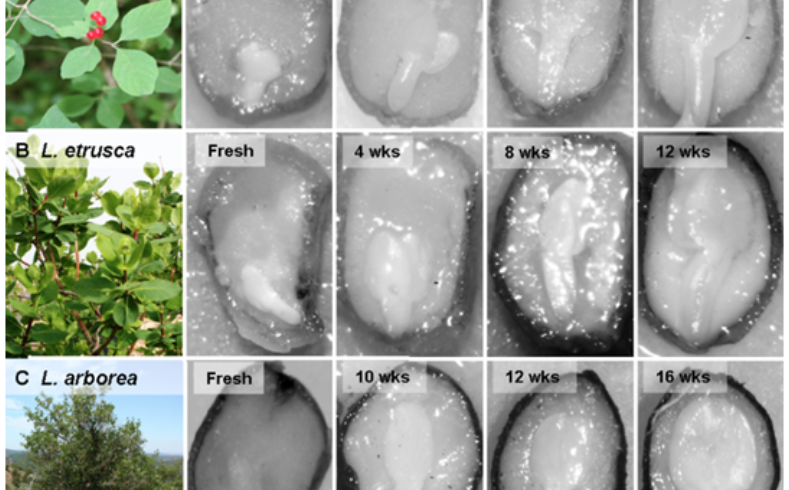 Species-specific environmental requirements to break seed dormancy: implications for selection of regeneration niches in three Lonicera (Caprifoliaceae) species.
