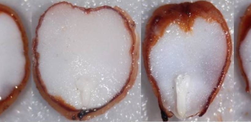 Non-deep simple morphophysiological dormancy in seeds of Viburnum lantana (Caprifoliaceae), anew dormancy level in genus Viburnum.