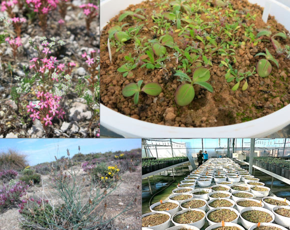 AGORA: Unravelling global rules of species assembly: an experimental approach based on annual plant communities in semi-arid systems worldwide