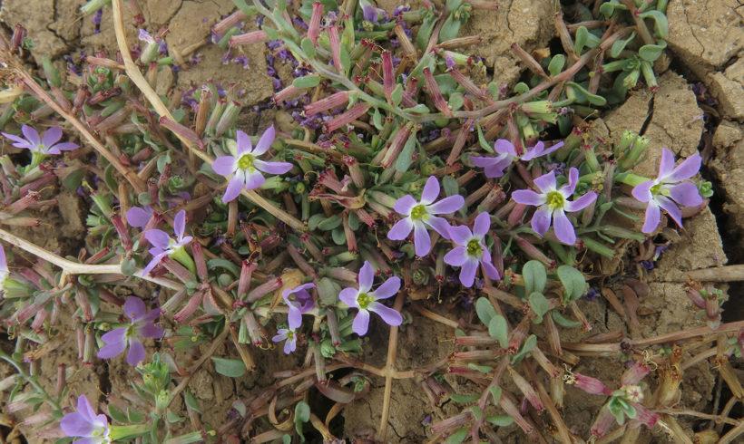Inventario de poblaciones de la planta Lythrum flexuosum en Castilla-La Mancha