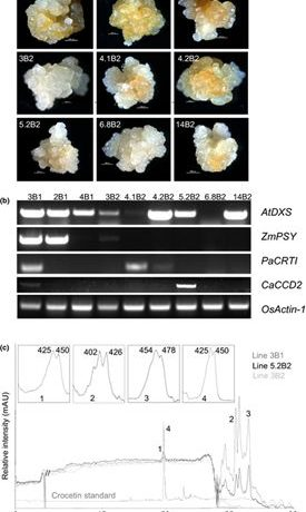 The carotenoid cleavage dioxygenase CCD2 catalysing the synthesis of crocetin in spring crocuses and saffron is a plastidial enzyme